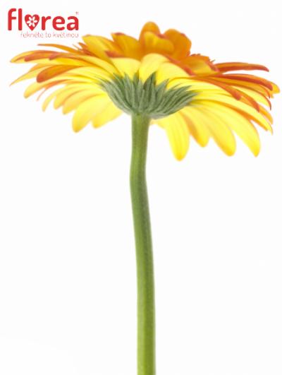 Gerbera GR SUNSPOT 10cm