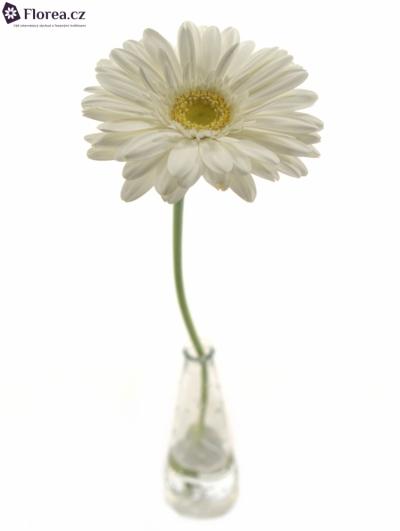 GERBERA GR SWANLAKE 10cm