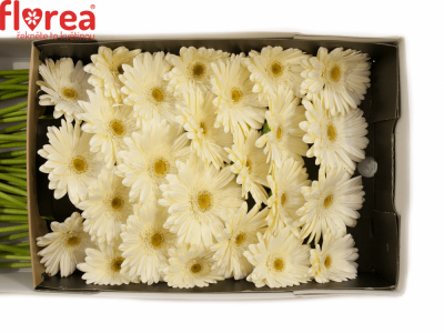 Gerbera GR WHITE GRIZZLY 10cm