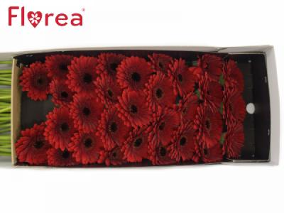 Gerbera mini RED STAR