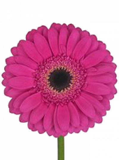 ROSA DOUBLE FASHION 60cm (M)