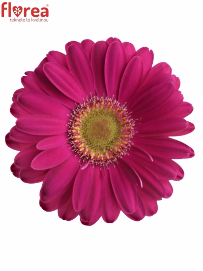 Gerbera mini ELVIS (WATER)