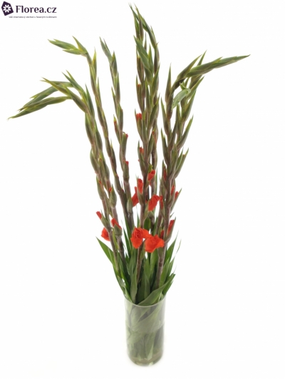 Gladiol GR HUNTING SONG 80cm/30cm