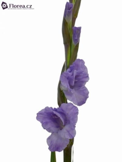 Gladiol GR MILKA 125cm/60cm
