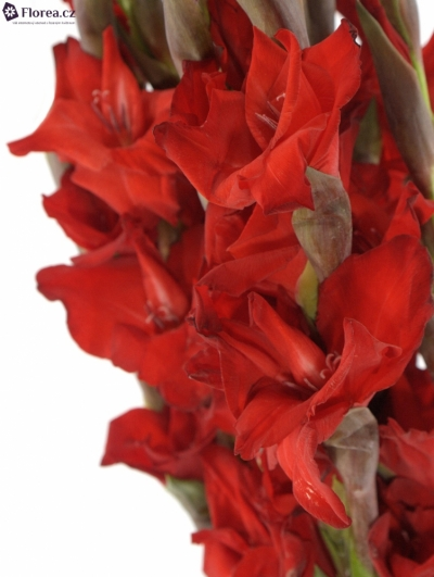 GLADIOLUS GR RED BALANCE 115cm/50cm