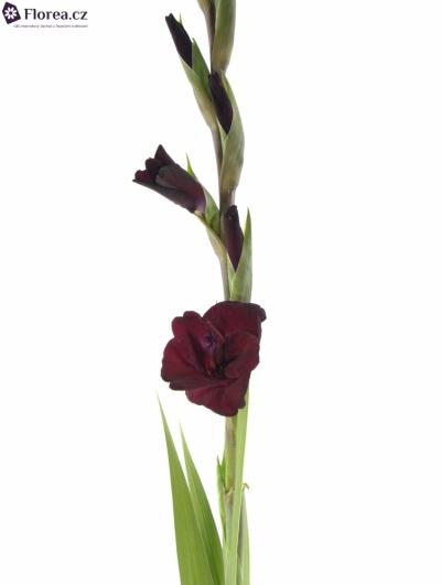 GLADIOLUS GR TAVIRA 115cm/50cm