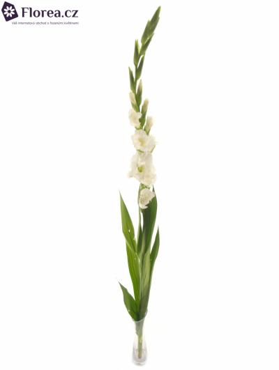 Gladiol GR ESSENTIAL 120cm/40cm