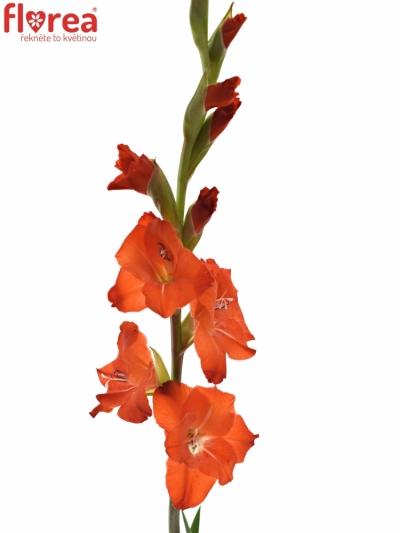 GLADIOLUS GR FORTUNA RED 110cm/55cm