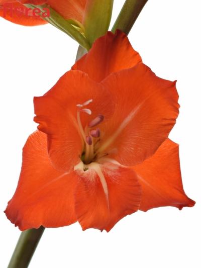 GLADIOLUS GR FORTUNA RED 135cm/55cm