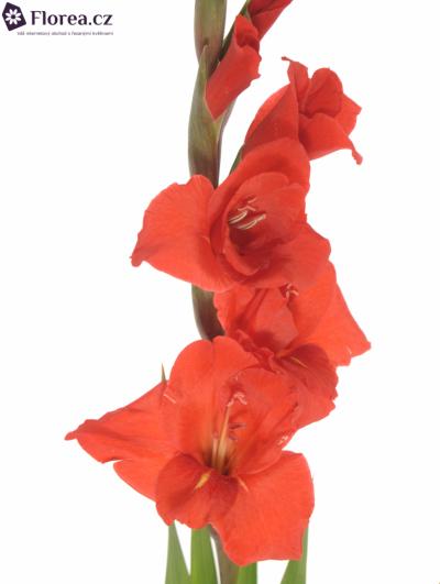 Gladiol GR MAGMA 90cm/30cm