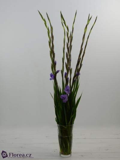 GLADIOLUS GR MILKA 125cm/60cm