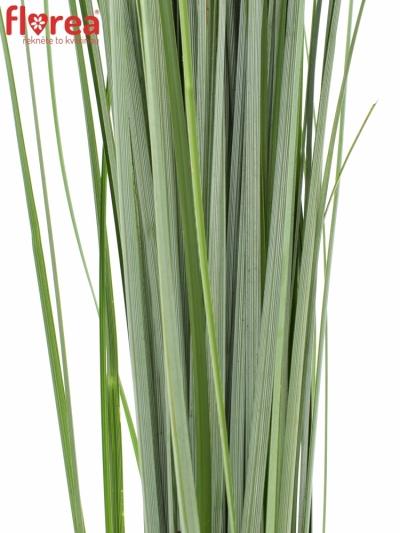 GRASS BEARGRASS 60cm
