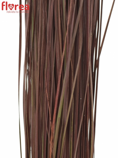 GRASS BEARGRASS 60cm BOURDEAUX