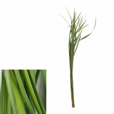 GRASS LILLY GRASS 60cm