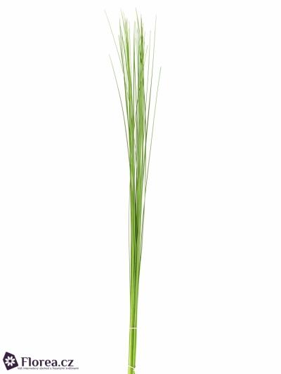 GRASS STEELGRASS 120cm