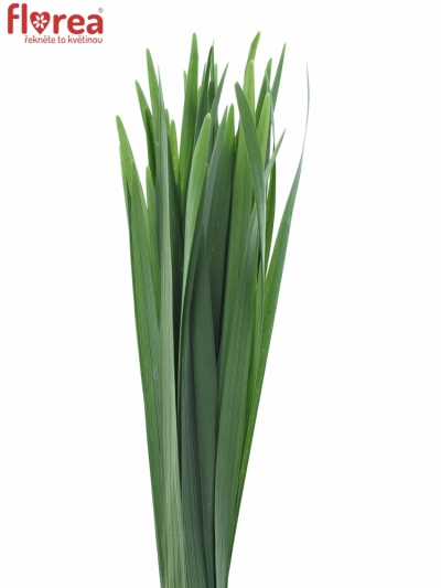 GRASS T-GRASS GREEN 50cm
