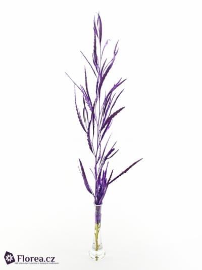 GREVILLEA LILA SHINE 70cm