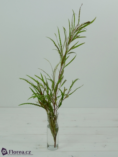 GREVILLEA LONG 70cm