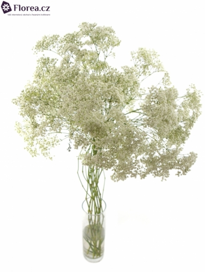 GYPSOPHILA PA MILLION STAR