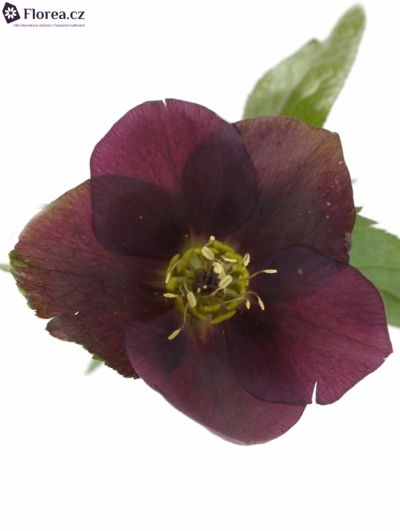 HELLEBORUS QUEENS RED 45cm