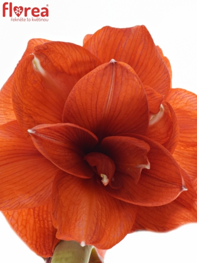 HIPPEASTRUM DG DOUBLE KING 60cm/3kv/15box