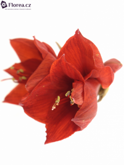 HIPPEASTRUM GA RED LION 80cm/4kv/15box