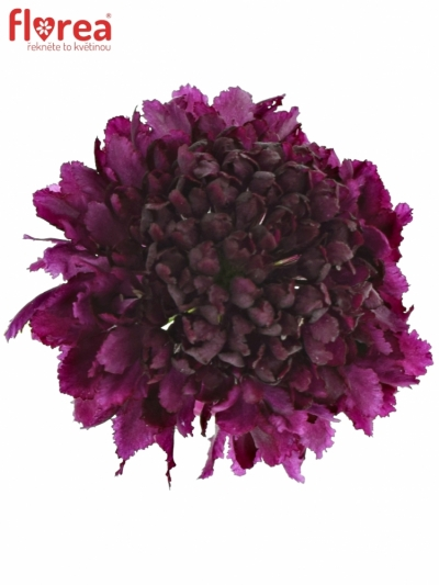 SCABIOSA AT RED VELVET SCOOP 55cm