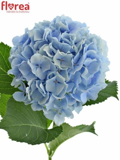 Hortenzie M VERENA BLUE 80cm