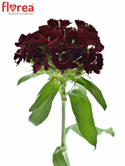 DIANTHUS BARBATUS QUEEN BREANTHUS 40cm