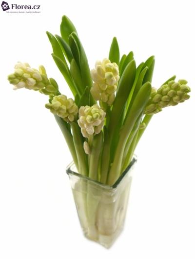Hyacint AIOLOS 25cm
