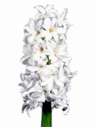 Hyacint CARNEGIE 25g
