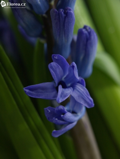 HYACINTHUS DELFT BLUE 32/18cm