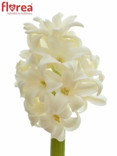 HYACINTHUS WHITE KING 30cm