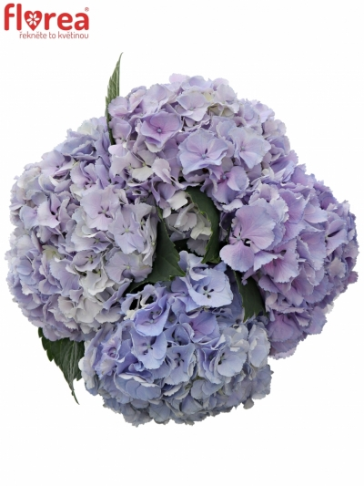 HYDRANGEA M BLINK BLUE 40cm