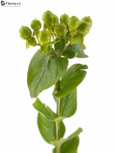 HYPERICUM GREEN REVIVAL 60cm