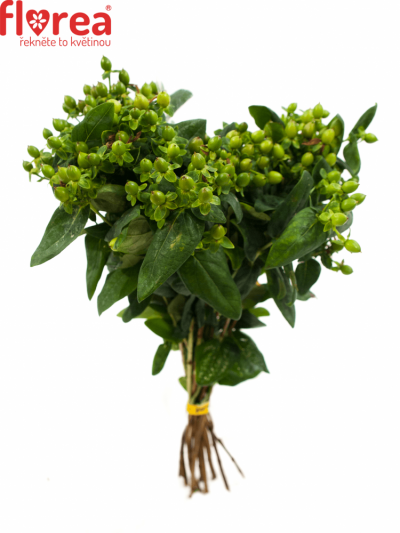 HYPERICUM MAGICAL GREEN FALL 40cm