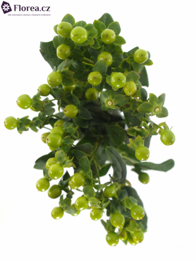 HYPERICUM MAGICAL GREEN POWER 70cm