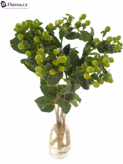 HYPERICUM MAGICAL GREEN POWER 40cm