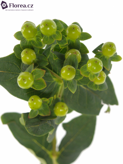 HYPERICUM MAGICAL GREEN POWER 50cm