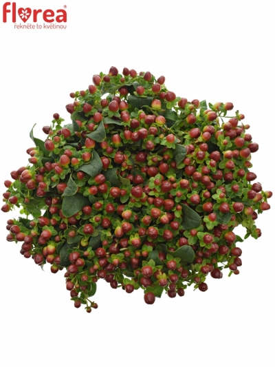 HYPERICUM MAGICAL SEASONS 35cm