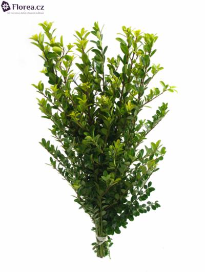 ILEX CRENATA GREEN HEDGE 70cm