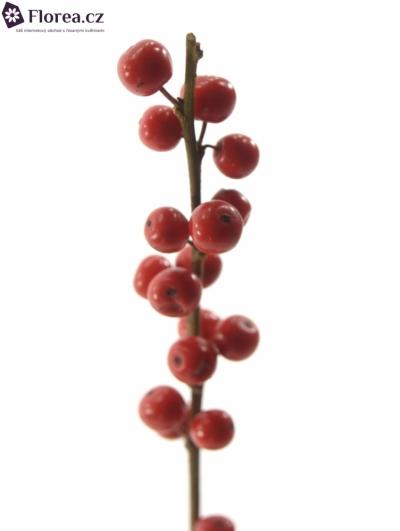 ILEX VERTICILLATA RED 70cm