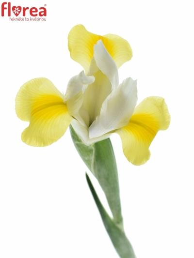 Iris APOLLO 66cm/33g