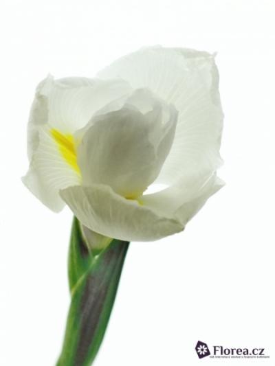 Iris CASABLANCA 62cm/54g