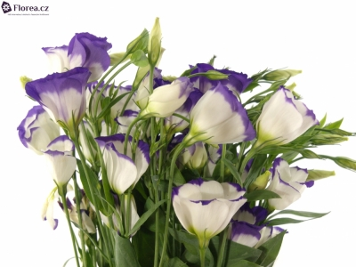 EUSTOMA E PICOLLO BLUE RIM 65cm/5+