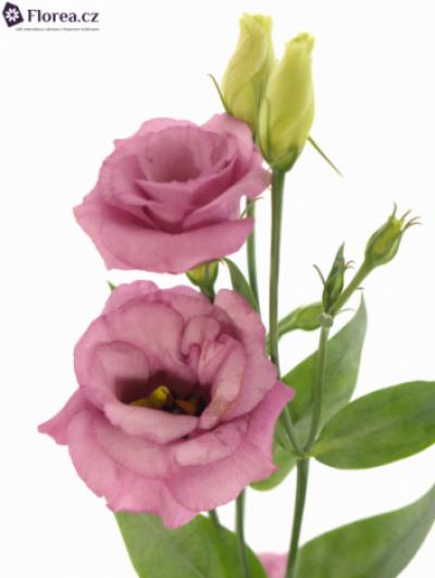 Jícnovka G ROSITA ROSE PINK 75cm/5+