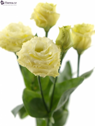 EUSTOMA G ROSITA YELLOW 70cm/5+