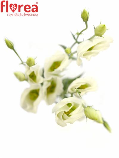 Jícnovka VULCAN WHITE 75cm/5+
