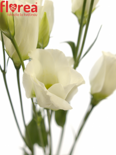 EUSTOMA VULCAN WHITE 60cm/5+