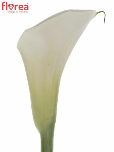 ZANTEDESCHIA AE HIGHWOOD 60cm
